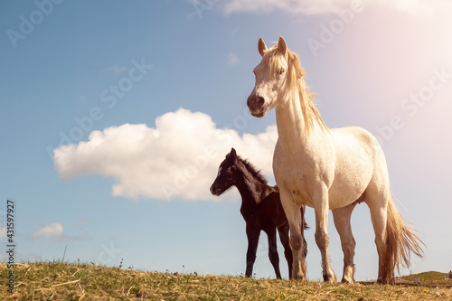 Foto Cute mother white horse with dark clumsy foal in a field against blue cloudy sky background