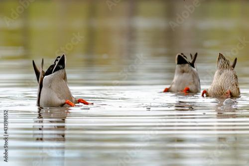 Fotografie, Obraz Spatula clypeata duck hunting for food underwater