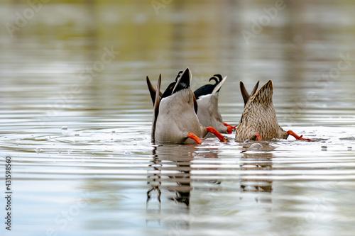 Vászonkép Spatula clypeata duck hunting for food underwater