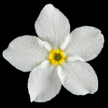 White Flowers Of Forget-me-not (Myosotis Arvensis), Isolated On Black Background