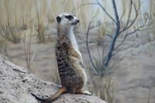 Meercat Standing Sentinel
