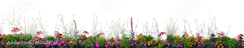 Fotografia Annual Flowers Flowerbed Panorama, Isolated Horizontal Panoramic Blooming Cardin