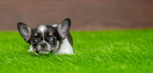 Cute Chihuahua  Puppy Lying On Green Summer Grass And Looking At Camera. Empty Space For Text