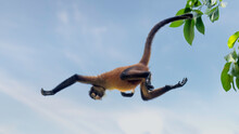 Spider Monkeys Are Specialists On Moving Fast Through The Forest Canopy