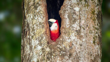Higgh Up In A Tree, A Scarlet Macaws Takes A Peek Out Of It's Nest