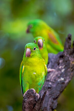 A Small Flock Of Parakeets Rest On A Branch