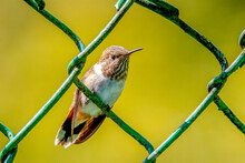 Tiny Indeed, Perched In A Metal Mesh Fence For Comparison