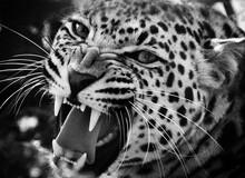 Leopard Snarling (Panthera Pardus)