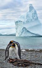 King Penguins (Aptenodytes Patagonicus) Near An Iceberg, South Georgia Island