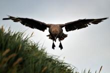 Skua (Catharacta Maccormicki) Landing And Flying