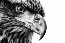 Juvenile Bald Eagle (Haliaeetus Leucocephalus) Portrait