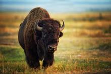 Buffalo (Bison Bison) In Jackson, Wyoming