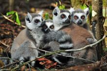Ring Tail Lemurs (Lemur Catta)