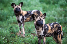 Two African Wild Dogs (Lycaon Pictus)
