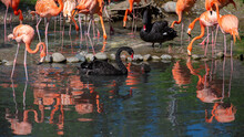 Black Swans Surrounded With Rose Flamingoes In A Park Pond