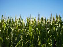 Flowering Maize/corn Plants Against Blue Sky