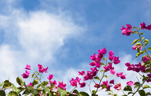 Tops Of Bougainvillea Vine Covered In Magenta Flowers Against Blue Sky