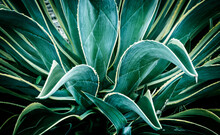 Close Up Of Verigated Agave