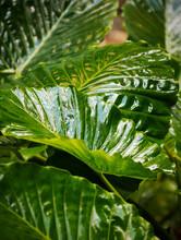 Subtropical Large Leafed Plant