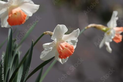 Fototapeta 春の庭に咲くラッパズイセンの花