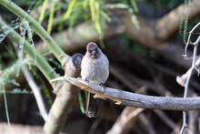 Common Bulbul (Pycnonotus Barbatus)  A Single Common Bulbul Sitting On A Broken Branch With Other Branches In The Background