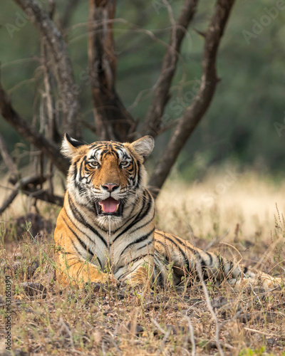 Foto Wild female royal bengal female tiger resting in natural green background at ran