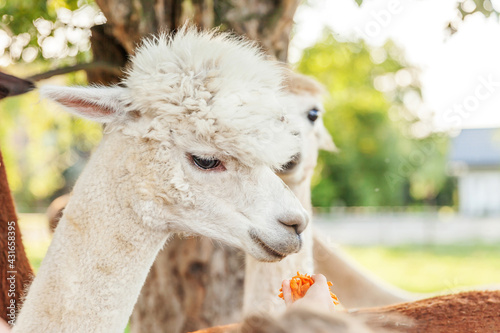 Fototapeta premium Cute alpaca with funny face eating feed in hand on ranch in summer day. Domestic alpacas grazing on pasture in natural eco farm, countryside background. Animal care and ecological farming concept.