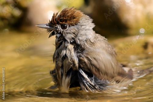 Canvas portrait de fauvette à tête noire femelle prenant un bain