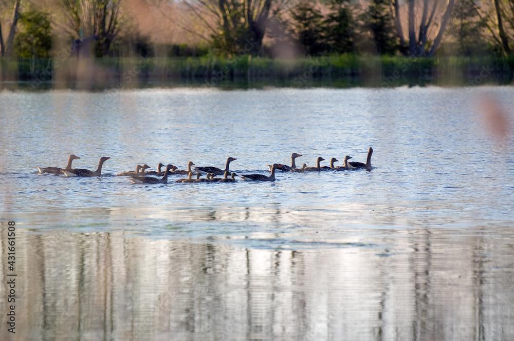 Fototapeta Stadko kaczek płynących po jeziorze
