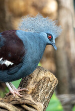 Portrait Of Western Crowned Pigeon, Known Also As Sclater's Crowned Pigeon. Blue Crowned Pigeon. Groura Cristata.