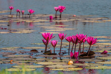 Group Of Red Water Lilies At Nong Han Marsh In Kumphawapi District, Udon Thani, Thailand. This Plant Is Also Called Nymphaea Pubescens Willd. Or Hairy Water Lily.