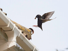 An Adult Parent Starling (sturnus Vulgaris) Comes Into Land With Food In Its Beak At A Roof Top Nest Site.Wings Stretched And Feet Ready To Perch