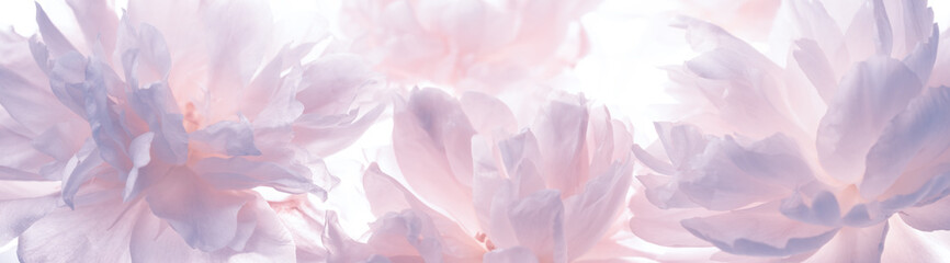 Blossoming delicate peony,pastel and soft background