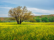 Yellow Field Of Flowering Rape And Tree Against A Blue Sky.  Natural Landscape Background With Copy Space. Amazing Bright Colorful Spring Landscape For Wallpaper