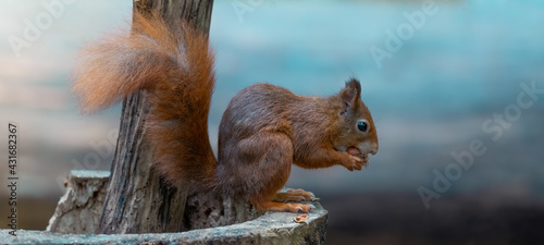 Obraz Funny animal wildlife nature background banner panorama - Cute red squirrel ( Sciurus vulgaris ) in the forest standing on a tree trunk and eating a hazelnut - fototapety do salonu