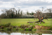 Walking On The Ouse Way, Barcombe Mills, England, On A Spring Afternoon. Fallen Tree On The Bank Of The River