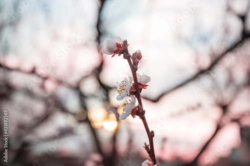Blossom tree - fototapety na wymiar