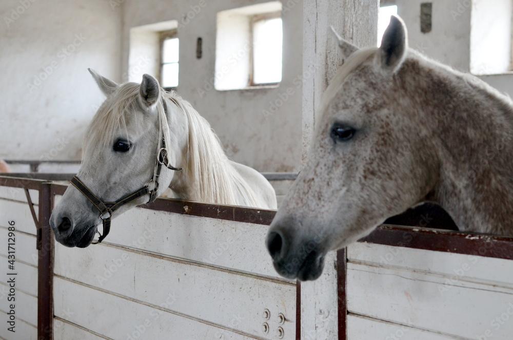 Fototapeta Koń , Konie  , Klacz  , konik , Polski  koń , Koń cheval, zwierzak, farma, glow, cheval, biała, charakter, koni, braun, ssak, portret, ogier, kuc, grzywa, jeździec, zwierzak, klacz , ogier