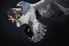 Portrait Of Blue Eagle At The Time Of Perching With A Black Background