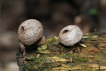 Two Puffballs Lycoperdon Perlatum On A Rotten Log