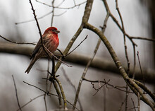 Male House Finch In The Woods