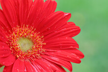 Macro Close Up Of A Red Dahlia After Rain