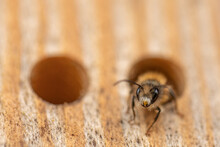 Wild Bee In The Insect Hotel (macro)