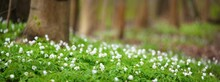 Forest Floor Of Blooming White Anemone Wildflowers And Green Leaves Under The Mighty Trees. Idyllic Spring Rural Scene. Nature, Landscape, Ecology, Environmental Conservation. Panoramic View