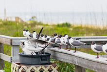 Close-up Of Laughing Gulls Standing On A Deck Railing Along A Beach With Some In A Garbage Can Looking For Food.