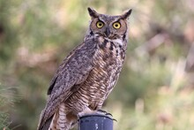 Great Horned Owl On A Post