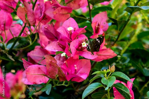 Carta da parati Black butterfly sucking nectar from Bougainvillea plant.