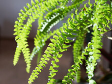 Green Leaves Of Indoor Plant Nephrolepis Close Up