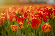 Beautiful Shot Of Bright Yellow And Red Tulips On A Fiel