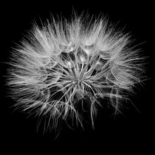 Black And White Jack-go-to-bed-at-noon From Close Up With Black Background, Meadow Salsify Macro Picture,
